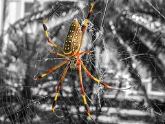 Banana Spider (mikederrico69) Tags: spider venomous bite color web colorful colors bright macro dangerous poisonous deadly creepy scary legs banana trip travel jamaica caribbean tropic tropical danger