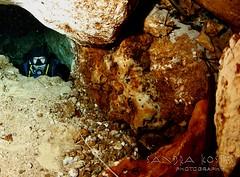 IMG_0388 (3) (SantaFeSandy) Tags: cow cowsink guybryant sandrakosterphotography sandrakosterphotographycom sandykoster sandra scuba santafesandysandrakosterphotographycom swimmers swim canon ikelite laraville mayo nsscds sandrakoster cave cavern camera catfish caves cavedivers underwaterphotography underwater experiment sidemount runningline reels wetsuit drysuit scubapro scubadiving scubadivers bare nomad nomadltz nomadls clay claybanks selfie
