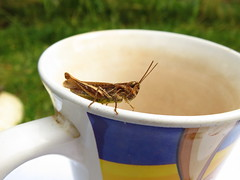 Grasshopper came to tea (sam2cents) Tags: grasshopper cute insect tea cup teacup summer wicklow ireland nature wildlife