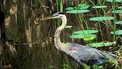 Great Blue Heron (Suzanham) Tags: heron greatblueheron bird wadingbird nature wildlife mississippi marsh wetlands noxubeewildliferefuge ardeaherodias ardeidae