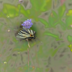 2018-07-15--lorry-mardigny0085.jpg (heiserge) Tags: france macro lorrymardigny nature butterfly flambé insectes moselle europe papillon lorraine macrophotographie animal animaux