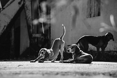 Lazy day (Hud1ai2) Tags: zakynthos zante greece group pack backlight dog dogs bw bnw bnwphoto blackandwhite blackwhite black monochrome animal mammal summer travel traveling