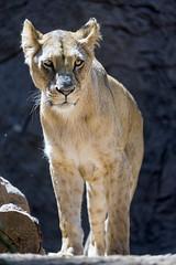 Lioness standing (Tambako the Jaguar) Tags: lion big wild cat female lioness standing portrait loroparque teneife spain nikon d5