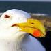 Gaivotão (Larus dominicanus) (Seil-bitz) Tags: florianópolis santacatarina praiadaarmação gaivotão larusdominicanus kelpgull laridae charadriiformes aves bird
