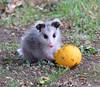 Possum eating orange (dzittin) Tags: possum baby orange
