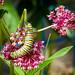 200/365 monarch caterpillar on milkweed (marianneleis) Tags: 365the2018edition 3652018 day200365 19jul18