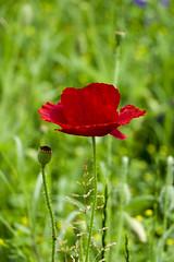Mariage du rouge et du bleu (Ezzo33) Tags: france gironde nouvelleaquitaine bordeaux ezzo33 nammour ezzat sony rx10m3 parc jardin fleur fleurs flower flowers rouge red bleu