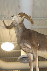 stone sheep (BarryFackler) Tags: animal taxidermy storedisplay stuffedanimal hunting trophy indoor sheep horns stonesheep ceiling lighting scheels villagepointeshoppingcenter sportinggoodsstore store retailstore villagepoint shopping 2018 barryfackler barronfackler omaha omahanebraska midwest omahane nebraska vacation