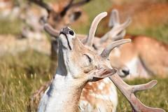 """Everybody loves the sunshine""! 🎶🎶 (Nina_Ali) Tags: 7dwf deer bradgatepark leicester"