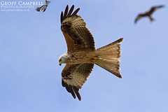 Red Kite in Action (Milvus milvus) (gcampbellphoto) Tags: milvus red kite bird prey nature wildlife raptor scotland bif flight gcampbellphoto outdoor animal sky tree
