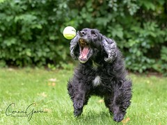 29/52 - Sammy 2018 (conniegavin12) Tags: 52weeksfordogs fieldspaniel spaniel dog pet ball