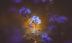 forget-me-not (Dhina A) Tags: sony a7rii ilce7rm2 a7r2 a7r kaleinar mc 100mm f28 kaleinar100mmf28 5n m42 nikonf russian ussr soviet 6blades myosotis flower forgetmenot