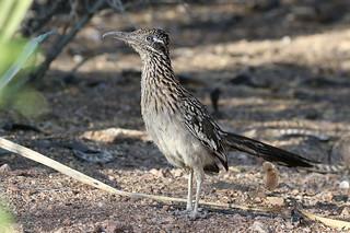 Greater Roadrunner - Geococcyx californianus - Maricopa County, Arizona, USA - June 3, 2018