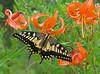 Swallowtail on wild tiger-lilies (mishko2007) Tags: papiliomachaon korea 105mmf28 liliumlancifolium
