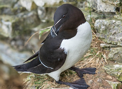 Razorbill explored:) (ian._harris) Tags: bempton rspb june nikon d7200 naturaleza nature sigma 500mmf45 natural naturephotography bird life