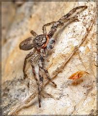 Spid3210 (heyrod>) Tags: spiders jumping arachnids platycryptus undatus male macro texas display threat nature