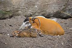 Red River Hog (Potamochoerus porcus) (Seventh Heaven Photography) Tags: red river hog potamochoerus porcus potamochoerusporcus animal mammal chester zoo cheshire nikond3200 piglets babies pigs