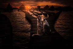 Friends at Sunset - Nabu&Jada ♥ (Alicja Zmysłowska) Tags: lake bridge dog dogs border collies sunset bokod hungary