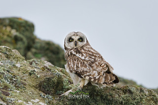 Short-eared Owl - Skomer Island
