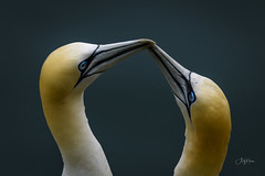 Sealed with a kiss (andy_harris62) Tags: gannets rspbbemptoncliffs nikon nikond850 birds wildlife nature seabirds rspbreserves closeup