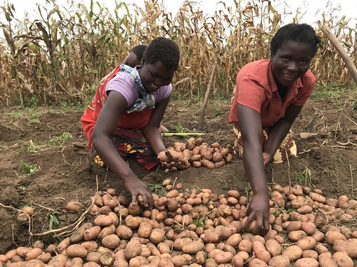 Potato Harvesting at a Demonstration Plot in Dedza District, Malawi