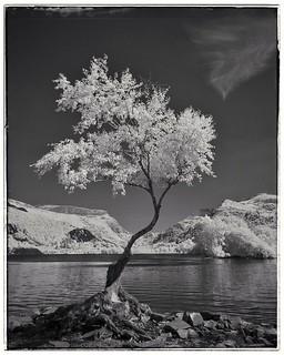 Lone Tree, Llyn Padarn....