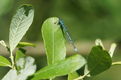 DSC04254 (simonbalk523) Tags: damsel fly nature sony photography park country water ponds pondlife
