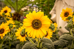 You are my Sunshine!! 💛💛 (Photo_stream_this) Tags: sunflowers leaves petals statue flowers