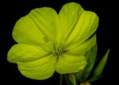 In the Night Garden (Brian Negus) Tags: garden night summer flower macro yellow eveningprimrose ourgarden bud pollen