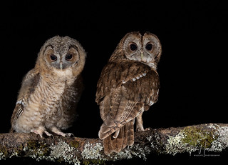 Tawny Owl and Chick
