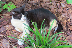 Key West (Florida) Trip 2017 7772Ri 4x6 (edgarandron - Busy!) Tags: cat cats kitty kitties cute feline florida keys floridakeys keywest hemingwayhome