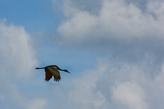 In Flight (thatSandygirl) Tags: flying flight bird sky clouds brown contrast waterbird wadingbird animal nature wildlife outdoors ottawanationalwildlifereserve park preserve ohio