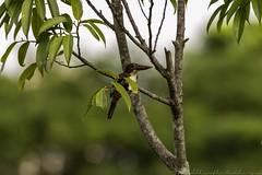 20180708-0I7A8797 (siddharthx) Tags: 7dmkii bird birdwatching birding birdsinthewild bishanangmokiopark canon canon7dmkii ef100400f4556isii ef100400mmf4556lisiiusm nature singapore singaporeparks trek urbanbirds urbangreens sg whitethroatedkingfisher whitebreastedkingfisher kingfisher