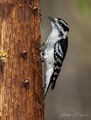 Dunenspecht (Chri-stian) Tags: dunenspecht downywoodpecker