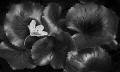 Fallen Rhododendron Flower (Heather Cormons) Tags: blueridgeparkway forest rhododendron flower foliage leaf leaves monochrome blackandwhite linvillegorge northcarolina d610 bw