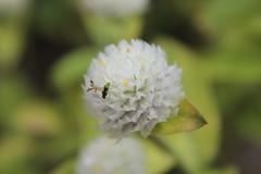IMG_8433 (Usagi93190) Tags: macro flower plant proxi botanical gardens naples florida insect