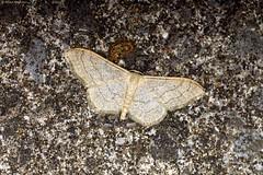 Riband Wave (Idaea aversata ab. remutata) (Hoppy1951) Tags: gilwern monmouthshire wales gbr allanhopkins hoppy1951 uk mygarden moth ribandwave idaeaaversataabremutata