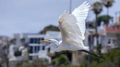 Coastal Town Birds (George_Adkins) Tags: californiacoast cardiff greategret longleggedwader egret birdinflight bird coastaltown shoresofcalifornia