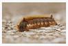 Drinker Moth Caterpillar (Alan-Taylor) Tags: drinkermothcaterpillar drinkermoth caterpillar insect staveleynaturereserve yorkshirewildlifetrust ywt euthrixpotatoria
