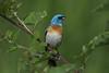 Luzuli Bunting (Alan Gutsell) Tags: bird birding wildlife nature canada alan animal luzuli bunting lazulibunting migration mountrevelstoke nationalpark