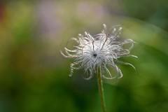 Pulsatilla. (agnieszka.a.morawska) Tags: garden nikon helios helios44m bokehlicious bkhq beyondbokeh macro dof bokeh nature seeds flower kwiat sasabka pulsatilla
