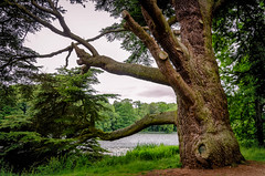 Aged Giant (Stephen Reed) Tags: blenheimpalace oxfordshire nikon d7000 lightroomcc garden water lake naturalbeauty
