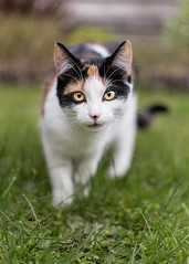 Bella Hunter (Melton's Moments) Tags: cats animals hunter outdoors feline playful cute furry grass kitten pussy bella