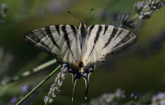Podalirio Su Lavanda (G.Sartori.510) Tags: pentaxk1 hdpentaxda14xafawrc smcpentaxda300mmf4edifsdm iphiclidespodalirius farfalla butterfly lavanda lavender
