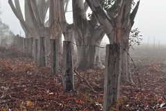 Frosty, foggy and freezing, HFFFF! (holly hop) Tags: wintersolstice winter fog frost cold eucalyptus trees fencefridays fence
