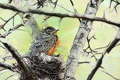 To Infinity and Beyond (Goromo) Tags: americanrobin robin bird nest nestling fledgling spring babybird tree branches