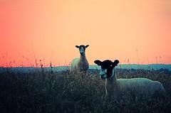 At sunset (lesleydugmore) Tags: sunset orange twilight evening uk europe england enville outside outdoors