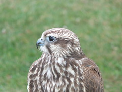 DSCF3614 (SierPinskiA) Tags: ruffordabbeycountrypark rufford knightsofnottingham fujixs1 jousting medieval horse knights goldeneagle falcon