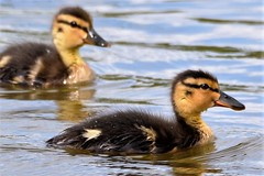 Irresistible. (pstone646) Tags: ducklings babies ducks nature animals wildlife wildfowl water reflections waterfowl lake swimming fauna birds two