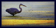 blue (milomingo) Tags: bird water blue heron waterfowl outdoor bristol wisconsin renaissancefaire frame photoborder grain texture photoart a~i~a illustrated pond yellow critter animal nature
